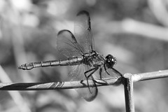 Dragonfly In Monochrome (Modkuse) Tags: dragonfly insect creature art artphotography artistic artisticphotography creamybokeh bokeh bw blackandwhite monochrome nature natural macro macrophotography macrolens macroinsects 80mm 80mmmacro xf80mmf28rlmoiswrmacro xf80mmf28rlmoiswrmacrolens fujinonxf80mmf28rlmoiswrmacro fujifilm fujifilmxt2 fujinon xt2