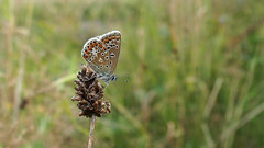 Common Blue (Nick:Wood) Tags: commonblue polyommatusicarus prioryfields naturereserve warwickshirewildlifetrust solihull butterfly insect