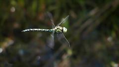 Southern Hawker (Nick:Wood) Tags: southernhawker aeshnacyanea haywood warwickshire dragonfly insect