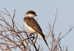 Eastern Kingbird Looking Back (ksblack99) Tags: easternkingbird kingbird bird tyrannustyrannus