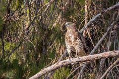 Short Toed Eagle (katyarud) Tags: bird biriyaforest circaetusgallicus shorttoedeagle бирия змееяд птица חיוויאיהנחשים יערביריה ציפור