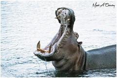 Open Wide! (MAC's Wild Pixels) Tags: openwide hippopotamus hippo hippopotamusamphibius mammal animal wildlife herbivore ungulates semiaquaticmammal africanwildlife wildafrica wildanimal wildlifephotography safari gamedrive outdoors outofafrica nature naturephotography tsavowestnationalpark mzimasprings kenya macswildpixels wildpixelsafaris munibachaudry coth alittlebeauty fantasticnature coth5 ngc naturethroughthelens yuàpoiuysqjhgfdss fégdhjk§lmc