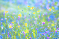 (kuuan) Tags: manualfocus mf minolta rokkor mrokkorf490mm mrokkor f4 90mm leica f490mm 490 mostviertel austria meadow flowers colorful ricohgxr mmodule blumen wiese colorfxpro niksoftwarecollection psplugin edited ricohgxrmmodule pastel pastelcolors