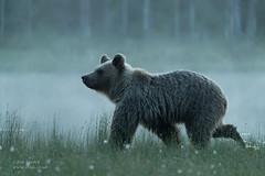 Brown Bear (Juvenile) (Ian Locock Photography) Tags: 2019 bears brownbears finland