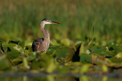 GBH (ayres_leigh) Tags: whitby cranberry ontario bird heron blue great canon 100400 wildlife nature