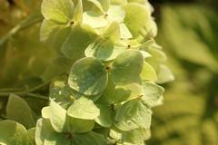 Hydrangea (gripspix) Tags: 20190831 natur nature plant pflanze blume flower hydrangea hortensie wilted verblüht