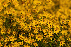 What is yellow? 6 (nwalthall) Tags: coreopsis nature tickseed yellow