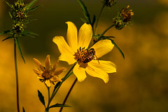 What is yellow? 5 (nwalthall) Tags: coreopsis nature tickseed yellow