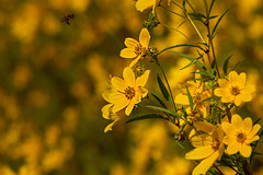 What is yellow? 7 (nwalthall) Tags: coreopsis nature tickseed yellow