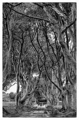 Bregagh Road NIR - Dark Hedges 05 (Daniel Mennerich) Tags: darkhedges bregaghroad ireland canon dslr eos hdr hdri spiegelreflexkamera slr monochrom monochrome monochromephotography vereinigteskönigreich unitedkingdom uk royaumeuni reinounido