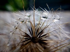 The circle of drops..... Macro of a wet dandelion outside with an overcast sky . (gilberteplessers) Tags: