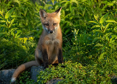 Baby Fox (NicoleW0000) Tags: redfox fox foxkit kit cub vulpes animals animal wildlife cute outdoors canada wild babyfox