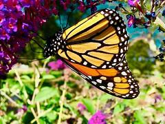 Beautiful Monarch (i_kaya@rogers.com) Tags: butterfly park flowers photo photograph photography toronto ontario canada macro macrodreams