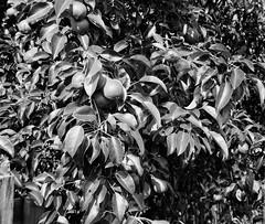 Growing Pears (Helios 1984) Tags: ilfordfilm ilforddelta100 35mmcamera filmcamera 135mmfilm blackandwhitefilm agfarondinax rondinax35u ilfordrapidfixer daylightloadingfilmdevelopingtank sp110ec kodakhc110 bwhomeprocessing expiredfilm expired35mmfilm