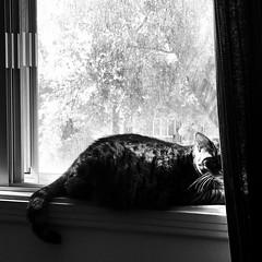 Un endroit exposé... (woltarise) Tags: iphone7 home rosemontpetitepatrie montréal érable🍁 arbre fenêtre regard spot soleil femelle chat appartement littledoglaughednoiret