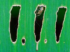 Boutonnières (Daniel Lebarbé) Tags: herbe grass araignée spider hole trou arachnide araneae arachnida leaf feuille brin vert green toile soie web macro