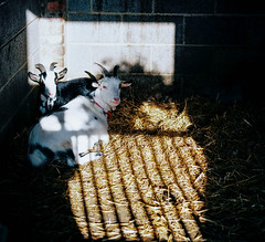 PRISONERS (ianroderickgray) Tags: fuji fujifilm fujifilmpro portrait portraitphotography film filmphotography filmphoto filmisalive filmcamera filmforever filmisgod 120film thefilmcommunity thefilmgang keepfilm keepfilmalive mamiya645 mamiya645pro mamiya mediumformat mamiyacamera mediumformatfilm mamiya645protl mediumformatcamera 120mm 120mmphotography 120mmfilm 120 sekor150mm window goat animal