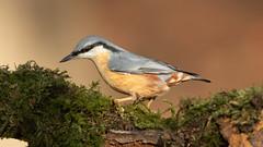 Nuthatch 1 (Layzeesod) Tags: nuthatch wild bird