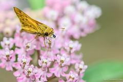 Fiery skipper on Swamp Milkweed (DaveSticker) Tags: milkweedswamp lepidoptera invertebrates flora location missouri fieryskipper glenway