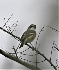 Blue-headed Vireo (Vireo solitarius solitarius) 01-28-2005 Sabal Palm Sanctuary, Cameron Co. TX 1 (Birder20714) Tags: birds texas vireos vireonidae vireo solitarius