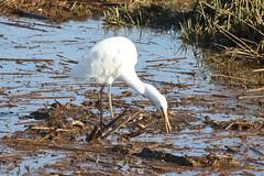 Great Egret (maritimeorca) Tags: animal ardeaalba billyfrankjrnisquallynationalwildliferefuge bird egret greategret thurstoncounty washington