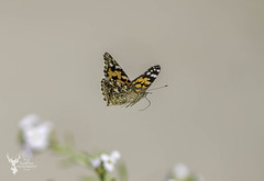Painted Lady (DarkleMoner) Tags: butterfly nature wildlife wild springwatch summer fauna insect wings lady painted beautiful flight flutter
