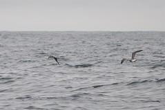 Pomarine Jaeger (Stercorarius pomarinus) (Service Dolphin) Tags: islesofscilly cornwall sea birds seabirds skuas pomarinejaeger