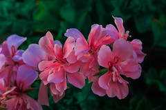 PINK FLOWERS (joicob123) Tags: nadie pétalo día frescura flor al aire libre crecimiento naturaleza de cerca belleza en la color rosa planta cabeza centrarse primer plano hoja