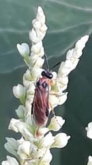 Bürstenhornblattwespe (naturgucker.de) Tags: ngidn56254656 argeochropus gelberosenbürstenhornblattwespe