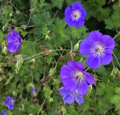 Late Summer Geraniums (J K Amero) Tags: pnw oregon portland pdx flowers