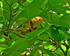 Yellow Warbler, Renton, WA 8/31/19 (LJHankandKaren) Tags: warbler yellowwarbler cedarrivertrailpark