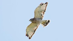 broad-winged hawk (adult) (quadceratops) Tags: massachusetts nature ashburnham mount watatic eastern mass hawk watch hawkwatch fall migration migrationison broad winged broadwing