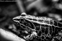 Pickerel Frog (Lotterhand) Tags: pickerel frog connecticut herping amphibians
