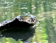 One more (EcoSnake) Tags: americanbullfrog lithobatescatesbeiana frogs amphibians water wildlife august summer idahofishandgame naturecenter