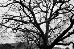 Winter tree (Matthew Paul Argall) Tags: canonsnappy20 fixedfocus 35mmfilm kentmerepan100 100isofilm blackandwhite blackandwhitefilm tree winter