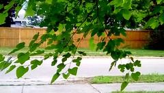 Tree branches and fence - HFF Menominee Michigan (Maenette1) Tags: treebranches fence street neighborhood menominee uppermichigan happyfencefriday flicker365 allthingsmichigan absolutemichigan projectmichigan