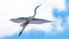 Grande aigrette (bbarsalo) Tags: grandeaigrette oiseaux animalier montreal quebec canada automne