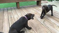Ike & Izzy (OakleyOriginals) Tags: chocolatelab labs labradorretriever labrador play wrestle run ball yard puppy playful cute grass happy ears eyes mouth teeth baby dog siblings brother sister