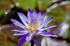Blue candle light! (ineedathis, Everyday I get up, it's a great day!) Tags: waterlily starofsiam lily nympaea νουφαρο flower nikond750 tropical exotic beauty pond nature water garden summer aquaticplant bokeh plant pads blossom petals blue yellow pistil