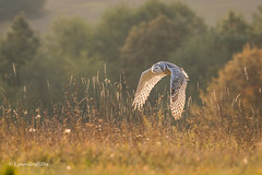 Snowy Owl - Autumn sunrise D85_6078.jpg (Mobile Lynn) Tags: birds owlsrelatives inflight snowyowl owl autumnal nature autumn bird buboscandiacus fauna flight flying strigiformes whiteowl wildlife nocturnal rimavskásobota banskábystricaregion slovakia coth specanimal ngc coth5 npc specanimalphotooftheday