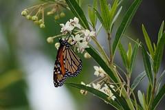 Wanderer, or Monarch Butterfly on Milkweed flowers (Tatters ✾) Tags: flickronly butterfly danausplexippus danaus oxleycreekcommon gomphocarpusfruticosus gomphocarpus 55200mm