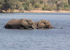 African Elephants - Loxodonta africana (Gary Faulkner's wildlife photography) Tags: africanelephants loxodontaafricana