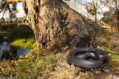 Red-bellied black snake (Tom Frisby) Tags: snake reptile animal wildlife herp australia animals