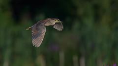 Black-crowned Night Heron 5374 (Paul McGoveran) Tags: bif bird birdinflight blackcrownednightheron hendrievalley nature nikon500mmf4 nikond850 coth5