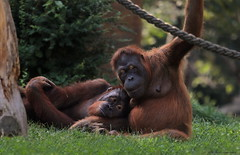 we are in love (gaby.harig) Tags: 802719 natur tiere säugetiere affen orang utan zoo leipzig