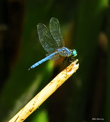 Blue Dasher 2138 (Ethan.Winning) Tags: blue dasher dragonfly dragonfliesanddamselflies odonata insects canon sx50 mtdiablowalnutcreekca copyrightethanwinning