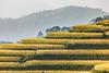 _MG_4242.1009.Nậm Ti.Hoàng Su Phì.Hà Giang (hoanglongphoto) Tags: asia asian vietnam northvietnam northernvietnam northeastvietnam landscape scenery vietnamlandscape vietnamscenery hoangsuphilandscape terraces terracedfields terracedfieldsinvietnam seasonharvest flanksmountain canon canoneos5dmarkii đôngbắc hàgiang hoàngsuphì nậmty phongcảnh ruộngbậcthang ruộngbậcthanghoàngsuphì hoàngsuphìmùalúachín hoàngsuphìmùagặt sườnnúi lúachín mùagặt canonef100400mmf4556lisusm