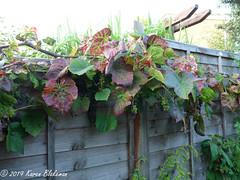 August 26th, 2019 Autumn is coming (karenblakeman) Tags: cavershamgarden caversham uk grapevine leaves autumn 2019 2019pad august reading berkshire