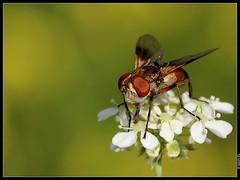 Simple mouche (boblecram) Tags: mouche insecte musca
