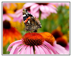Motyl. (andrzejskałuba) Tags: poland polska pieszyce dolnyśląsk silesia sudety europe plant pink plants kwiat kwiaty flower flora floral flowers fauna zieleń green garden grey ogród owad outdoor orange summer szary roślina różowy rośliny rudbeck rudbekia macro natura nature natural natureshot natureworld nikoncoolpixb500 naturephotographer echinacea jeżówka beautiful biały beauty buds brown brązowy motyl butterfly beautyofnature insect color czarny white pomarańczowy nopeople day 1000v40f